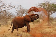 African elephant dirt bathing Royalty Free Stock Photos