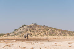 African elephant at Dolomite waterhole with the Rest Camp behind stock photo