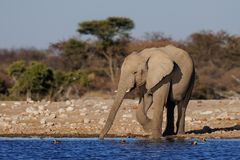 African elephant drink on a waterhole, etosha nationalpark royalty free stock photo