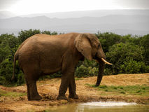 African Elephant drinkin Stock Images