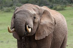 African Elephant Drinking Royalty Free Stock Images