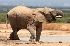 African Elephant Drinking Royalty Free Stock Photos
