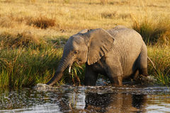 African Elephant Drinking Stock Photo