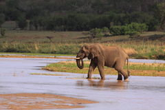 African elephant drinking from river stock photos