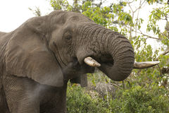 African Elephant drinking, South Africa Royalty Free Stock Photography
