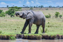 African Elephant Drinking At A Stream Royalty Free Stock Image