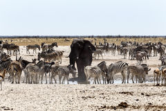 African elephant drinking together with zebras and antelope at a Stock Image