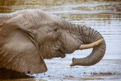 African elephant drinking and washing himself in Addo national park. South Africa stock photo