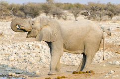 African elephant drinking water Stock Photography