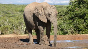 African elephant drinking water stock footage