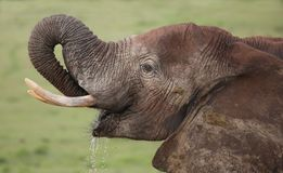 African Elephant Drinking Water Royalty Free Stock Images