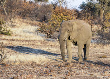 African Elephant in a Dry Dusty Landscape During a Drought in Africa. African Elephant in a Dry Dusty Landscape During a Drought in South Africa royalty free stock images