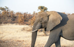 African Elephant in a Dry Dusty Landscape Royalty Free Stock Photos