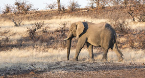 African Elephant in a Dry Dusty Landscape Royalty Free Stock Image