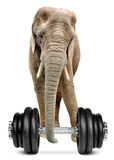 African elephant with dumbbell Stock Photography