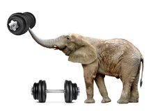 African elephant with dumbbell Royalty Free Stock Photo