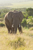 African Elephant at dusk. Elephant with tusks, unsure, staring at camera Stock Photo