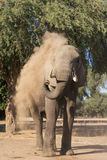 African Elephant dust bath Royalty Free Stock Photography