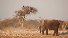 African elephant in the dust stock footage