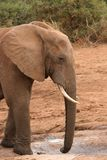 African Elephant Dusty. Dusty elephant drinking at water hole Stock Photo