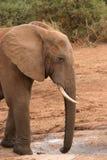 African Elephant Dusty. Dusty elephant drinking at water hole stock photo