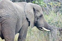AFRICAN ELEPHANT EATING Stock Photos