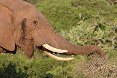 Free African Elephant Eating Stock Photography - 18329072