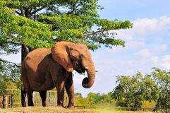 African Elephant Eating Stock Images