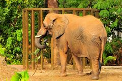 An African Elephant Eating Royalty Free Stock Images