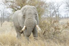 African Elephant eating from a bush. African Elephant Loxodonta africana, feeding bull, Kruger national park, South Africa stock photo