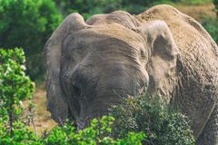 African elephant eating in bushes close up view in Addo National Park. South Africa royalty free stock photos