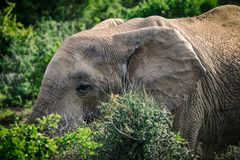 African elephant eating in bushes close up view in Addo National Park. South Africa stock image