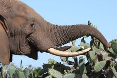 African Elephant Eating Cactus Royalty Free Stock Image