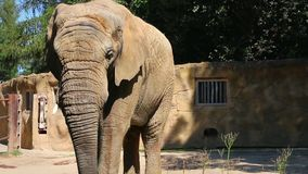 African elephant eating, close up, front view stock video