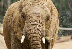 African Elephant eating. African elephant close-up shot in San Diego Zoo Safari park royalty free stock image