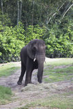 African Elephant eating hay Stock Photo