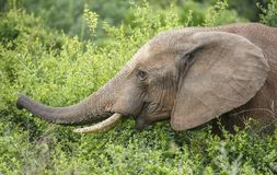 African Elephant Eating Royalty Free Stock Photography