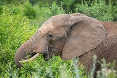 African Elephant Eating Leaves royalty free stock image