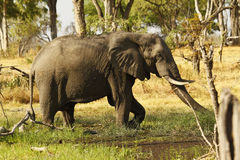 African Elephant Eating Minerals Royalty Free Stock Photography