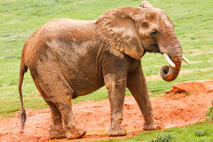 African Elephant Eating Mud Stock Photography