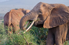African elephant eats Royalty Free Stock Images