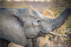 African Elephant eats Branches from an Acacia Tree Stock Photography