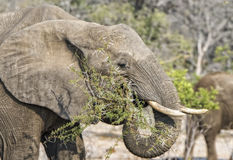 African Elephant eats Branches from an Acacia Tree Royalty Free Stock Photography