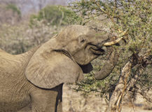 African Elephant eats Branches from an Acacia Tree Royalty Free Stock Image