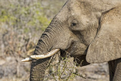 African Elephant eats Branches from an Acacia Tree Stock Image
