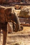 An African elephant eats hay in an enclosure at a zoo. royalty free stock photography