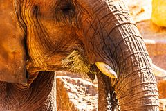 An African elephant eats hay in an enclosure at a zoo. stock photography