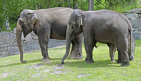 African elephant 9 Stock Photos