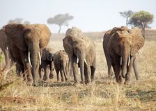 African elephant (Loxodonta africana) Royalty Free Stock Photography