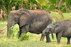 African Elephant. S in Serengeti, Tanzania Stock Photos